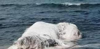 cane balena