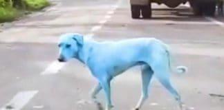 cani blu