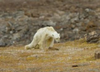 orso bianco che ha commosso il web