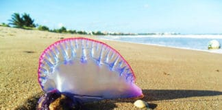 Allarme medusa tropicale velenosa