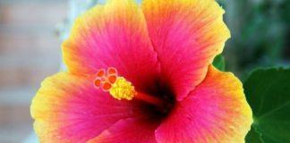 come un fiore di ibisco