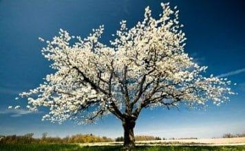 Un albero in fiore