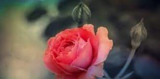 Germoglio di Rosa