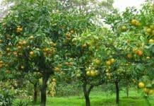 lavori-frutteto