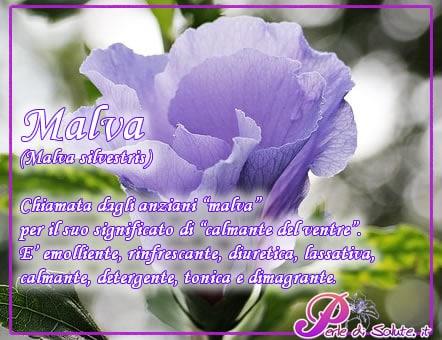malva2
