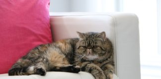 Gatto Exotic Shorthair