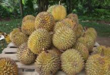 Durian il frutto più puzzolente