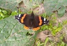 esser farfalla