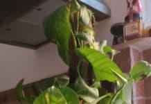 La pianta di Maurizio