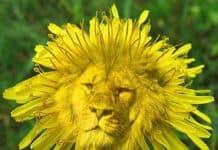 dente di leone soffione