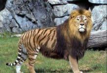 ligre maschio-141f94db