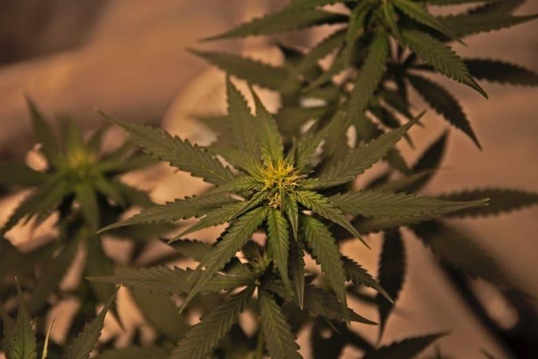 semi di cannabis semi di canapa