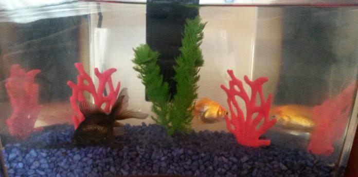 I pesci rossi-d8024765