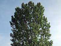 Populus nigro